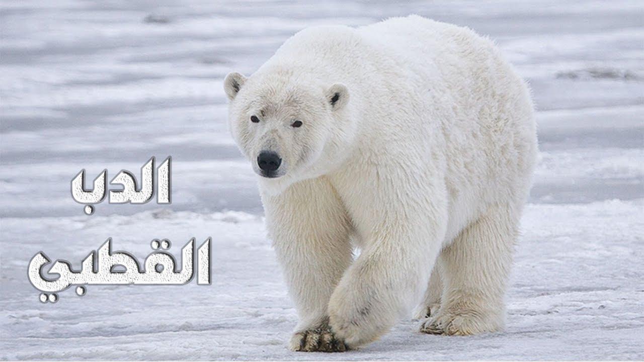 معلومات عن الدب القطبي Youtube