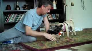 Baby Black Pug Lily  Adolescent Aly The Pug,, Husband Steve