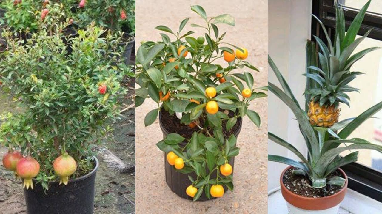 6 alberi da frutto che puoi facilmente coltivare in vaso for Alberi da frutto in vaso
