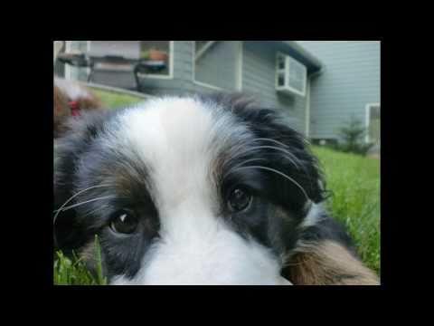 Australian Shepherd Puppy Story