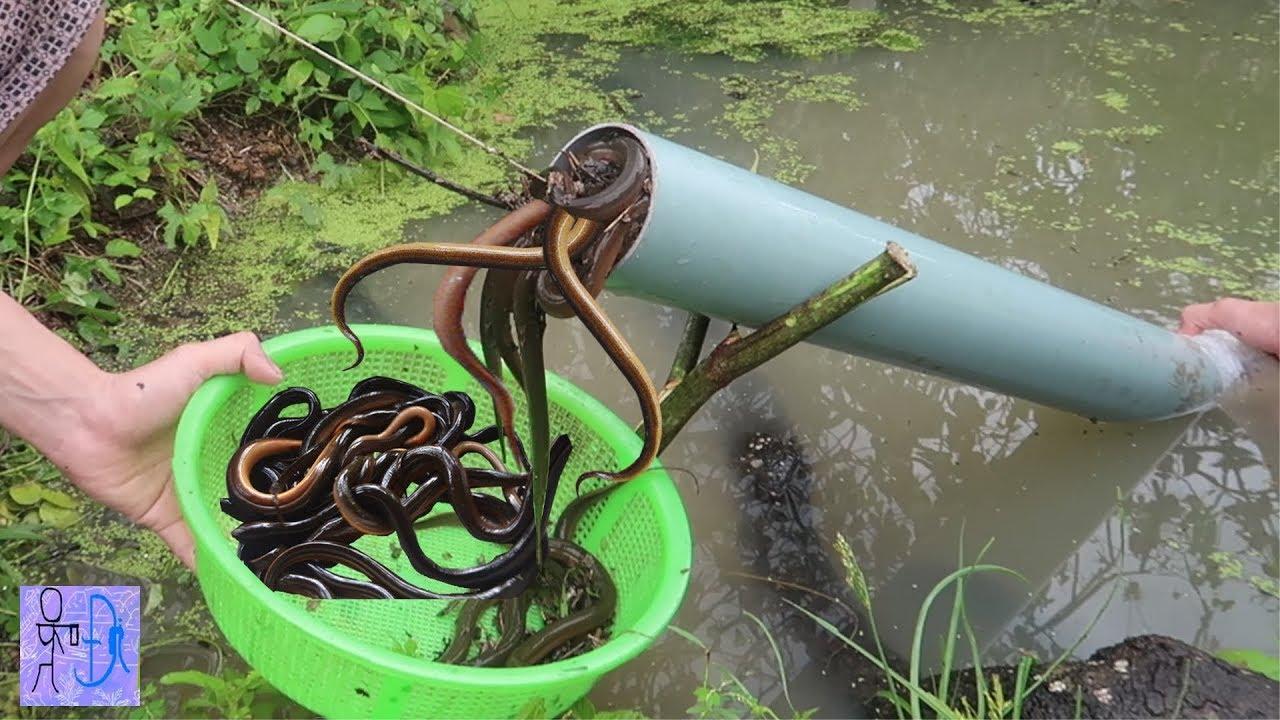 Lần Đầu Tiên Bẫy Lươn Bằng Ống Nhựa PVC & Cái Kết Bất Ngờ . Bắt Lươn Đơn Giản .Amazing PVC Eel Trap