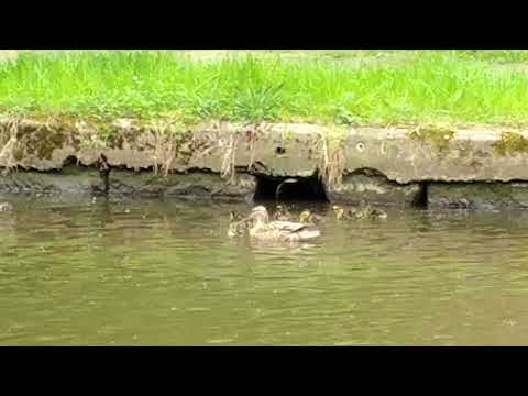Ducklings swimming on the canal at our workshop - Sheffarc.com