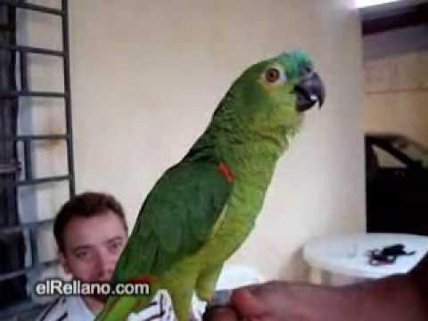 papagal de opera