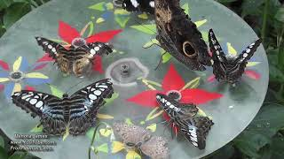 Cluster Of Most Beautiful Blutterflies Amazing