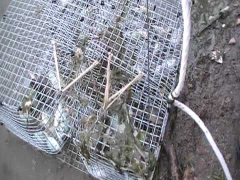 Homeade perch trap youtube for Homemade fish trap