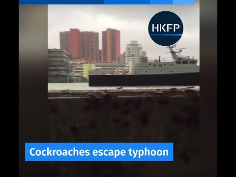 Typhoon Hato makes landfall: Are cockroaches escaping floods in Macau?
