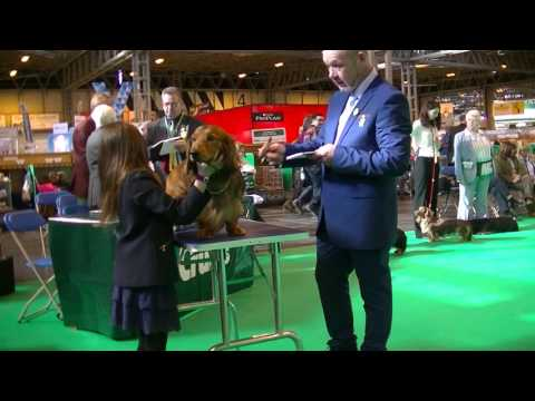 Standard Long Hair Dachshund in Crufts 2017 B