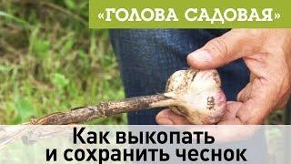 Голова садовая - Как выкопать и сохранить чеснок