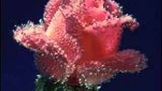 Zülfü Kaküllerin Amber Misali-ERKAN OĞUR