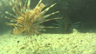 biscayne bay lionfish