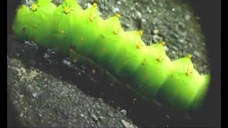 Saturniidae larva