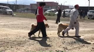 4月21日に開催された北海道犬保存会札幌支部展覧会に出陳させていただい...