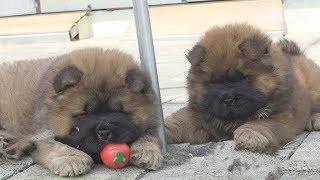 그래서 둘다 눈을 뜬거개요 감은거개요 ㅣThese Chow Chow Puppies Eyes Are Open? Or Closed?