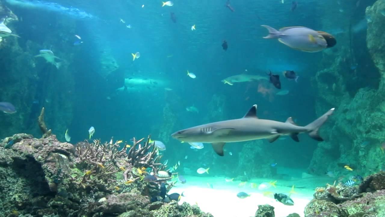 Sydney aquarium big fish tank youtube for Huge fish tank