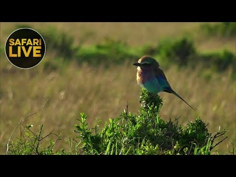 safariLIVE - Sunrise Safari - September 10, 2018