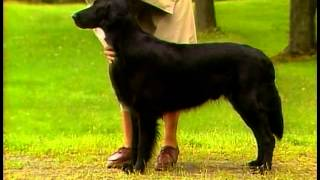 Flat-Coated Retriever - AKC Dog Breed Series