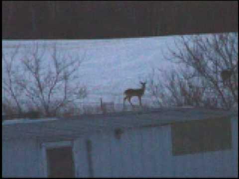 Playful Deer