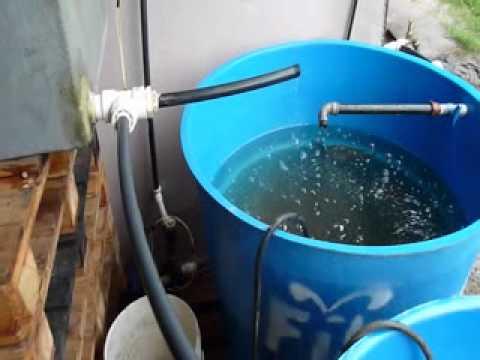 Como criar mojarra tilapia apareamiento y reproduccion for Criar tilapias en estanques