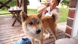 【しばわんこ日記】抜け毛の季節【柴犬タロウ】 Shibainu