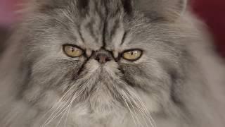 Mèo Ba Tư | ROYAL CANIN PERSIAN