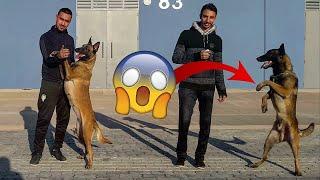 أخطر فيديو في العالم مع كلاب المالينوا الدكية❤extreme malinois chien au monde