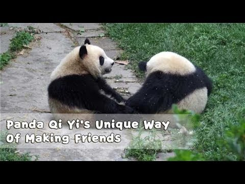 This Is Panda Qi Yi's Unique Way Of Making Friends With Other Panda | iPanda
