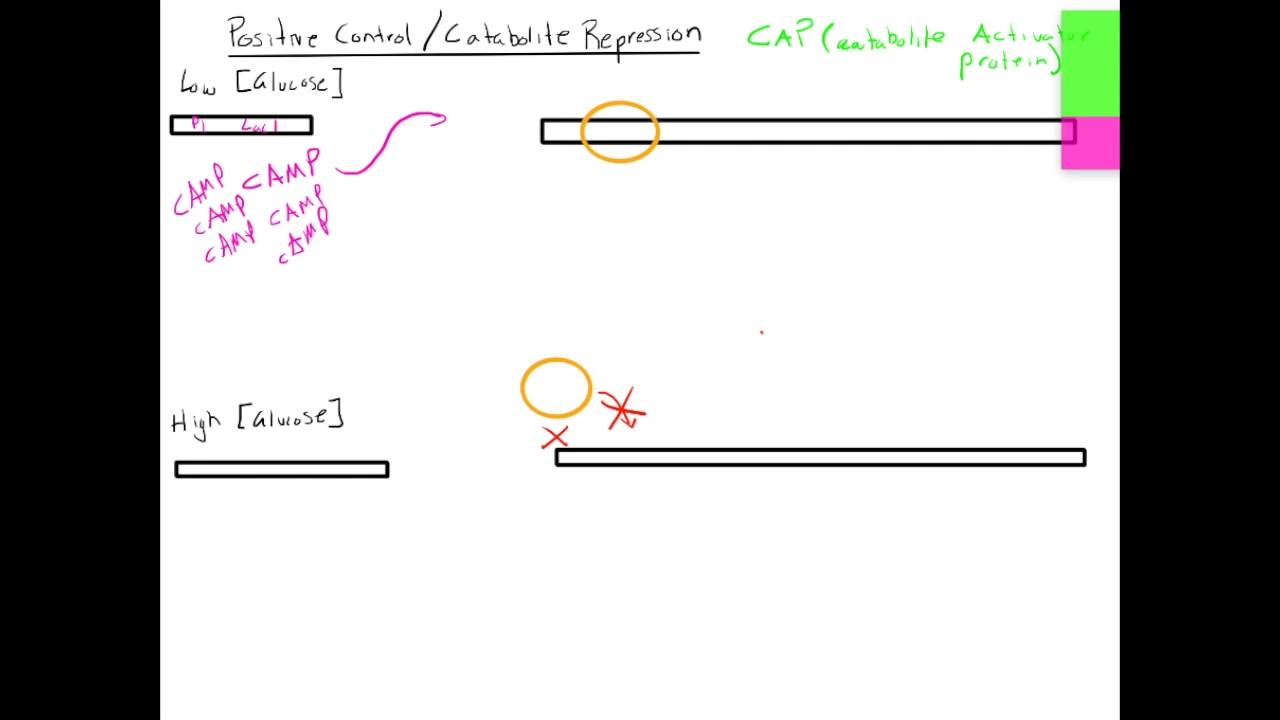 05af7853423 Catabolite Activator Protein  Catabolite Repression - YouTube