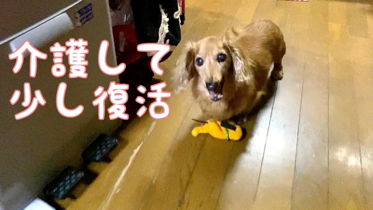 【介護日記2】介護状態から少し復活したココちゃん ミニチュアダックス mini dachshund dog