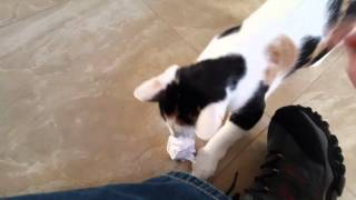 My Calico cat playing fetch