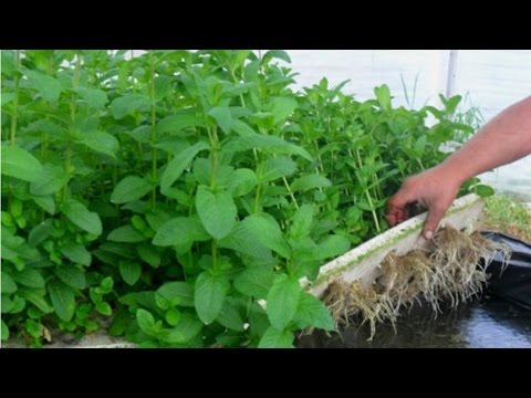 Hidroponia de Plantas Medicinais e Condimentares - Apresentação