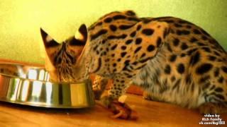 Котик - Ашера