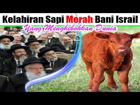 Terbongkar..inilah Sapi Merah Bani Israil Yang Benar Menurut Al Quran..