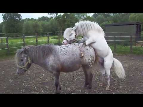 Video mating of horse complication top 20 thumbnail
