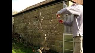 Pruning bush apple tree - 4 year timelapse