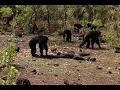 Chimpancés retienen, torturan y canibalizan a un tirano