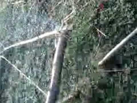 piège a pie et a corneil - YouTube