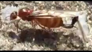 Queen Ant Mating With King Ant