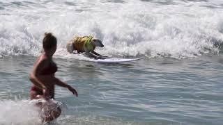 Sugar-the-surfing-dog. Surf City Surf Dog Finals run (1)