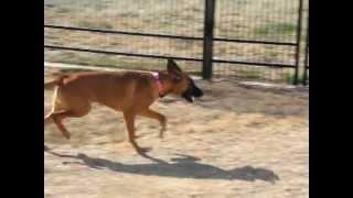 Ethel, A German Shepherd/boxer Mix