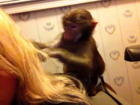 Adorable Baby Monkey Grooming Long Blonde Hair