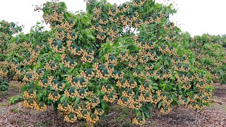 How To Increase Longan Production - Spraying San To Force Longan Tree To Flower - Easy And Effective