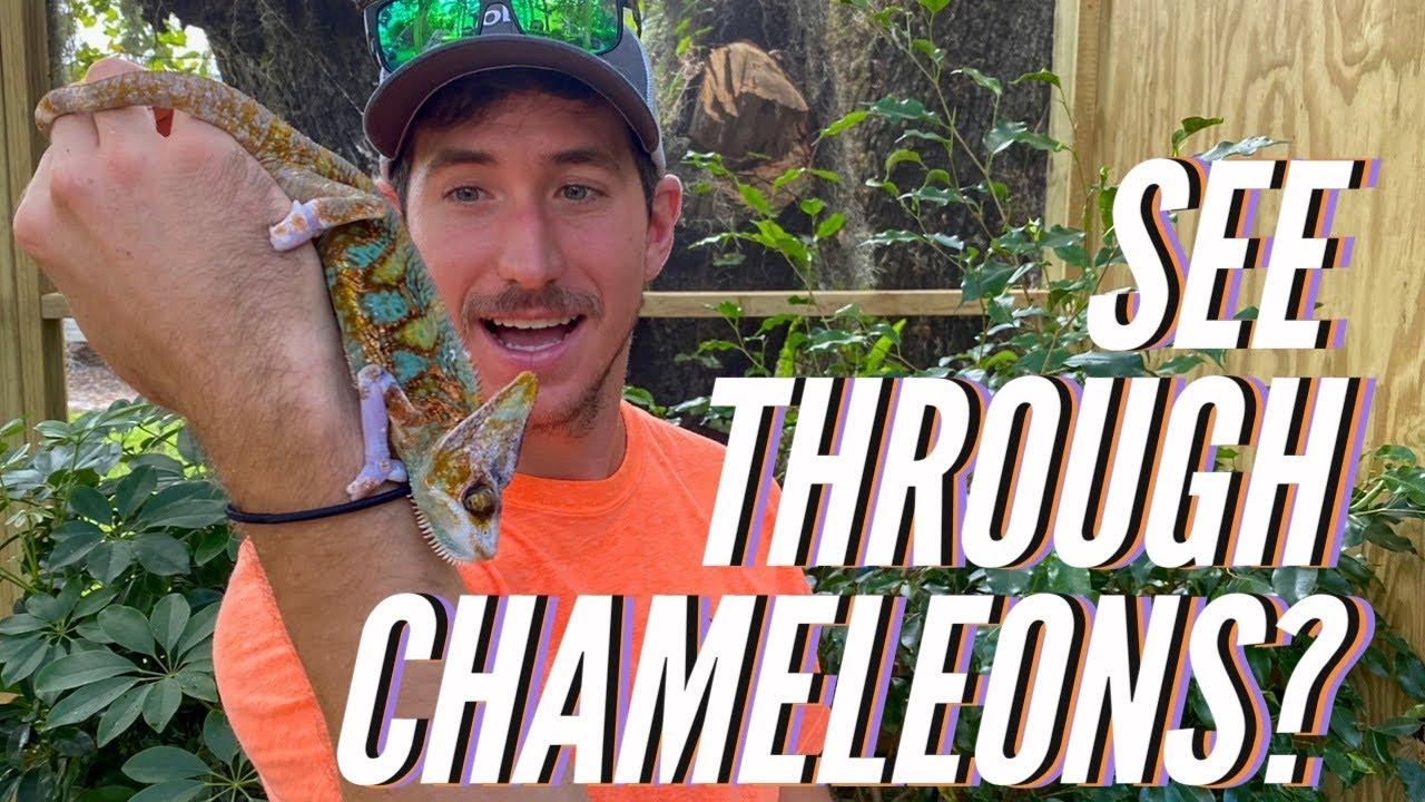 New INSANE Chameleon Morph!!!
