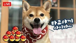 타코야끼 먹는 강아지  / 시바견 곰이탱이 라이브