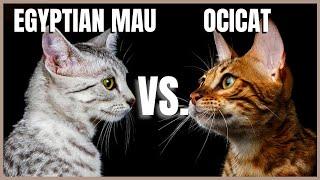 Egyptian Mau VS. Ocicat
