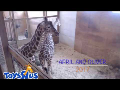 Thumbnail: APRIL THE GIRAFFE TEXTED OLIVER!!!!