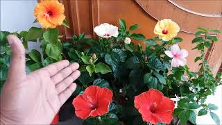 How to Grow Hibiscus Plant/All Care Tips (HINDI/URDU)