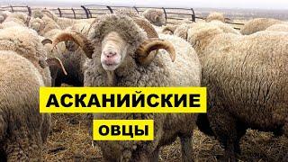 Разведение Асканийской породы овец как бизнес идея | Овцеводство | Асканийские овцы