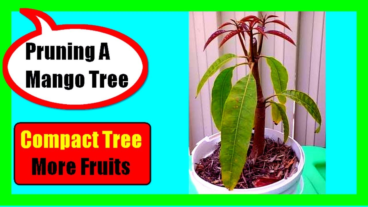 How To Prune A Mango Tree  Training And Pruning In Young -9068