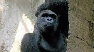 跨國聯姻 金剛猩猩「寶寶」送荷蘭繁殖 20180318 公視晚間新聞
