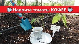 🍅 Напоите томаты КОФЕ ☕ Бесплатное удобрение для ТОМАТОВ помидор